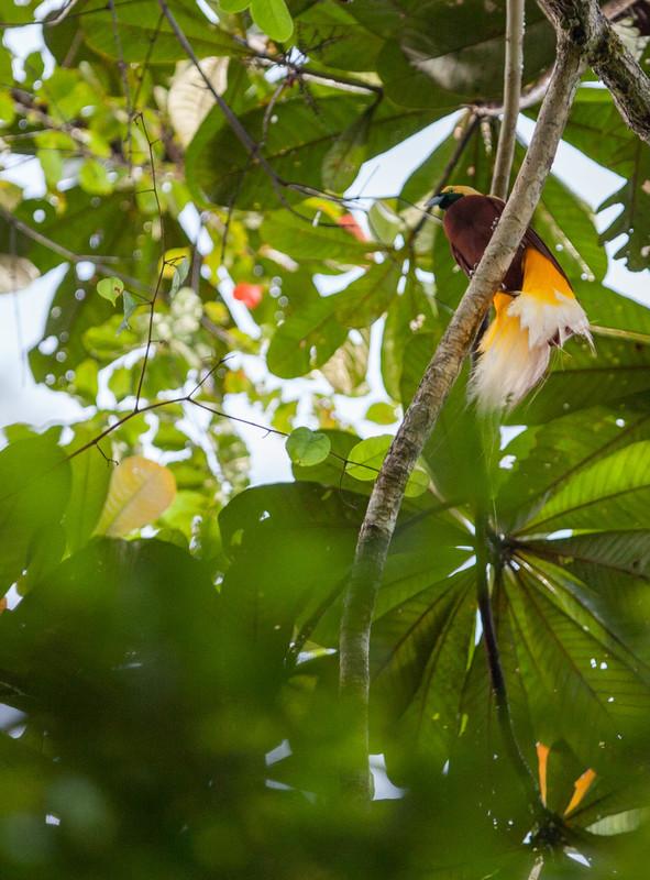熱帶雨林孕育無窮生機,圖中所示是西巴布亞熱帶森林内的天堂鳥(Cendrawasih)。© Jurnasyanto Sukarno / Greenpeace