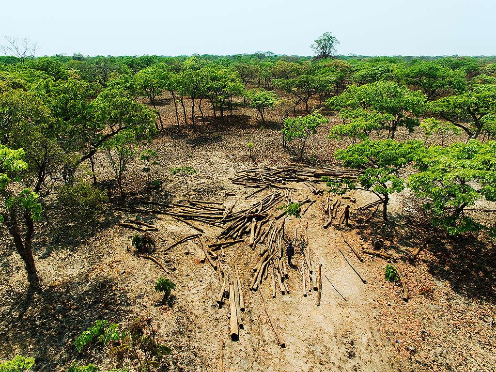 綠色和平深入剛果森林調查林地破壞情形。剛果政府雖於2002年頒佈伐木禁令,然而由於幅員遼闊管理不易,加上貪腐與官商勾結,難以遏止毀林行為。© Lu Guang / Greenpeace