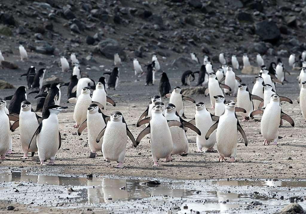 位於南極半島的Deception Island生活了最大型的頰帶企鵝族群,但可惜頰帶企鵝數量正在大幅減少。© Eric Wong / Greenpeace