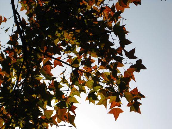 仰望高大的楓香,感覺像看色彩豐富的星空。留心楓香葉的三角星星形態。© helen yip