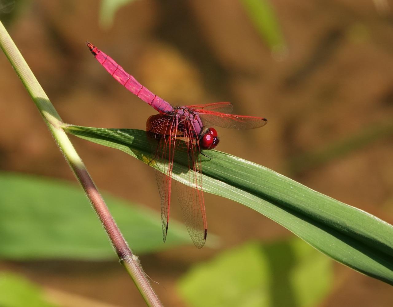 曉褐蜻 © 馬屎