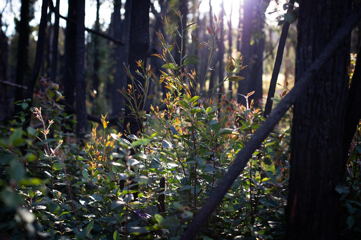 澳洲新南威爾斯州袋鼠谷(Kangaroo Valley)年初是大火重災區之一,半年後喜見枝葉重生,但生態復原之路依然漫長。 © Ella Colley / Greenpeace