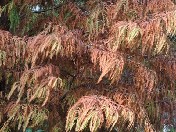 近看落羽杉的葉。© helen yip