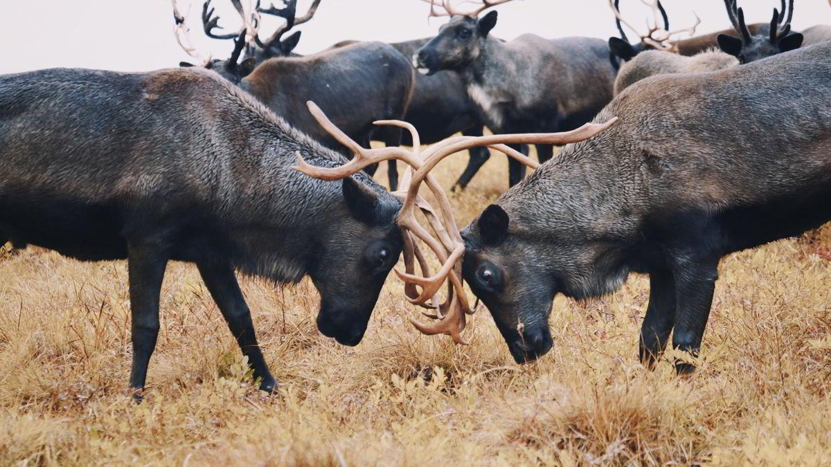 永久凍土融化同時禍及馴鹿生存,危機包括糧食不足、傳染病誘發及土地崩塌。 © Alexander Fedorov