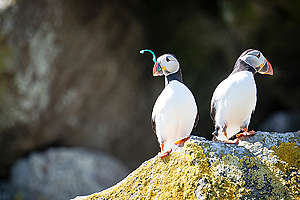Puffins on Shiant Isles in Scotland. © Will Rose