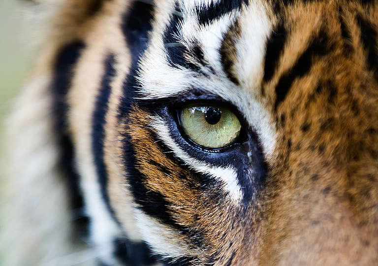 Sumatran Tiger in Tambling Wildlife Nature Conservation. © Paul Hilton