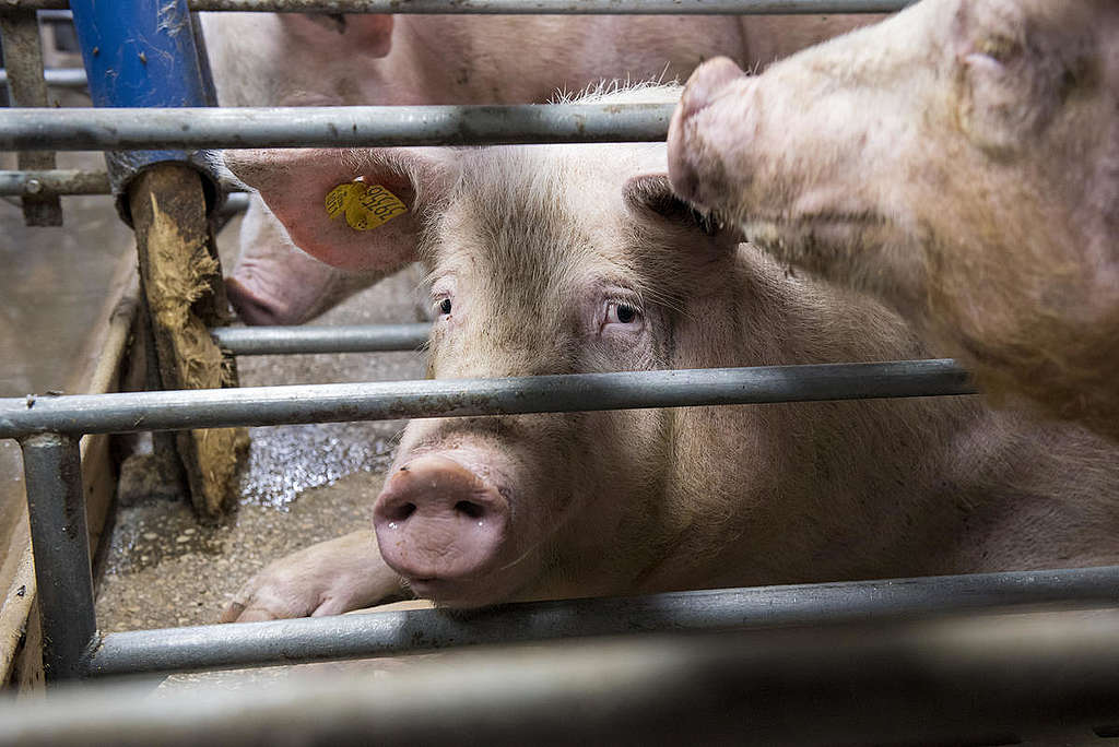Sows and Piglets in Gestation Cages in Thuringia. © Greenpeace