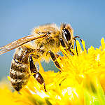 World bee day – Observing the decline of native bees