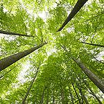 Beech Tree Forest in Germany. © Markus Mauthe / Greenpeace