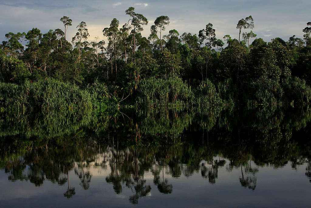 Intact Peatland Forest in Indonesia. © Will Rose / Greenpeace