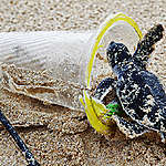 Baby Green Sea Turtle in Plastic Pollution on the Beach on Bangkuru Island, Sumatra. © Paul Hilton / Greenpeace