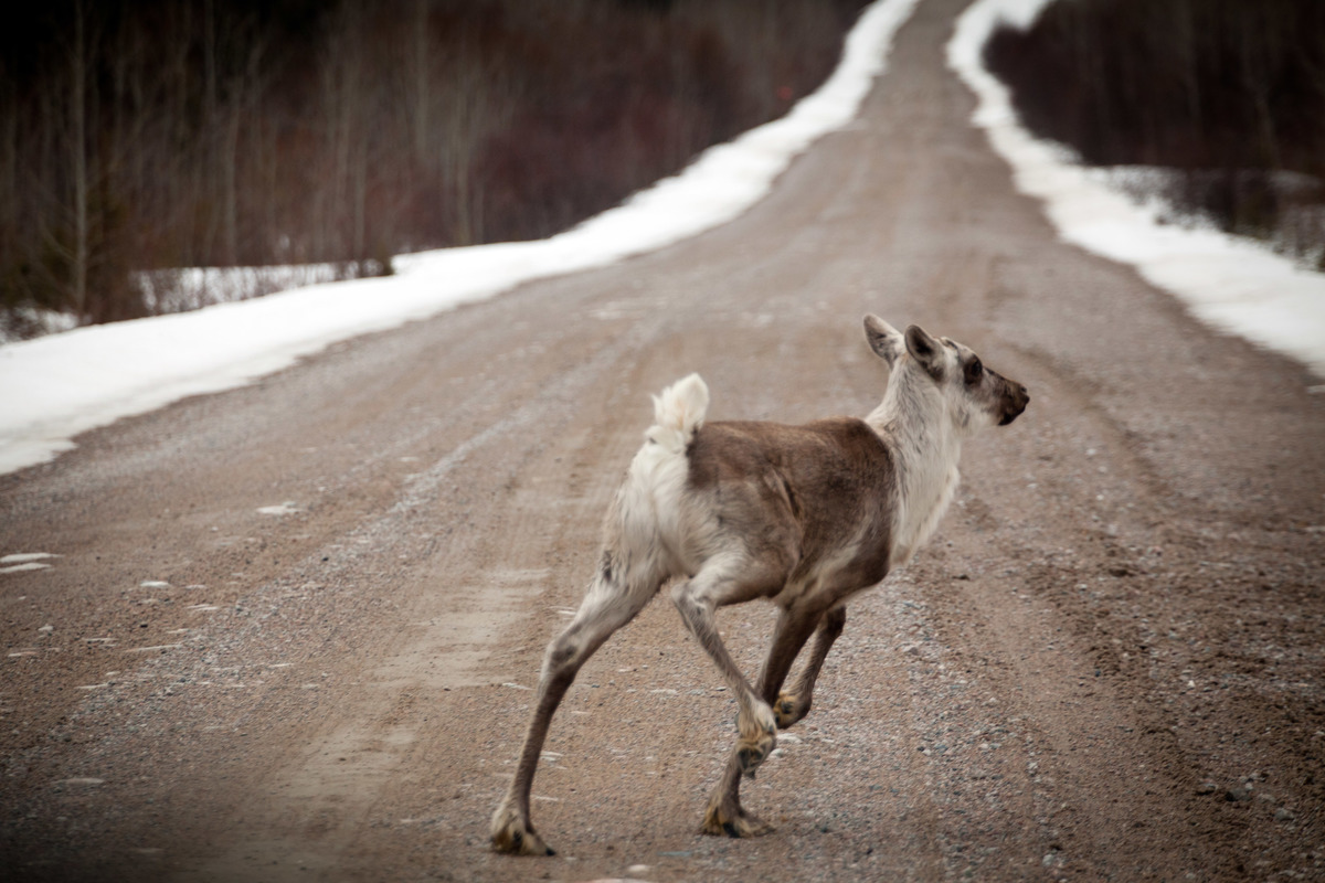 Woodland Caribou in Broadback Valley Forest in Canada © Gordon Welters / Greenpeace