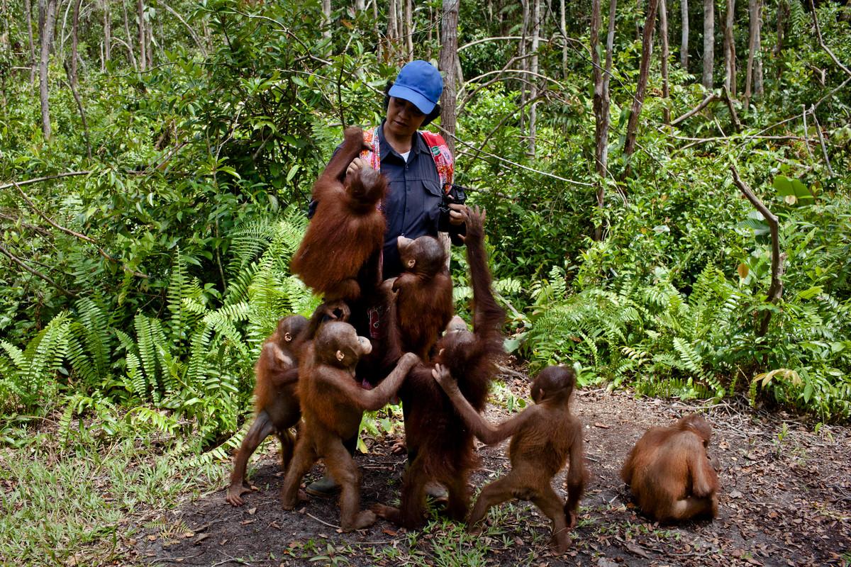 Orangutan in Central Kalimantan © Ulet Ifansasti / Greenpeace