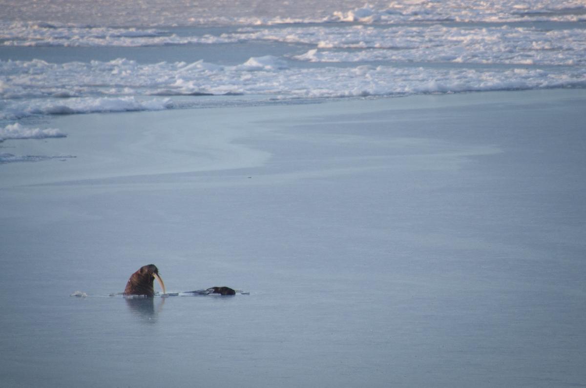 A Walrus in Svalbard © Rasmus Törnqvist / Greenpeace