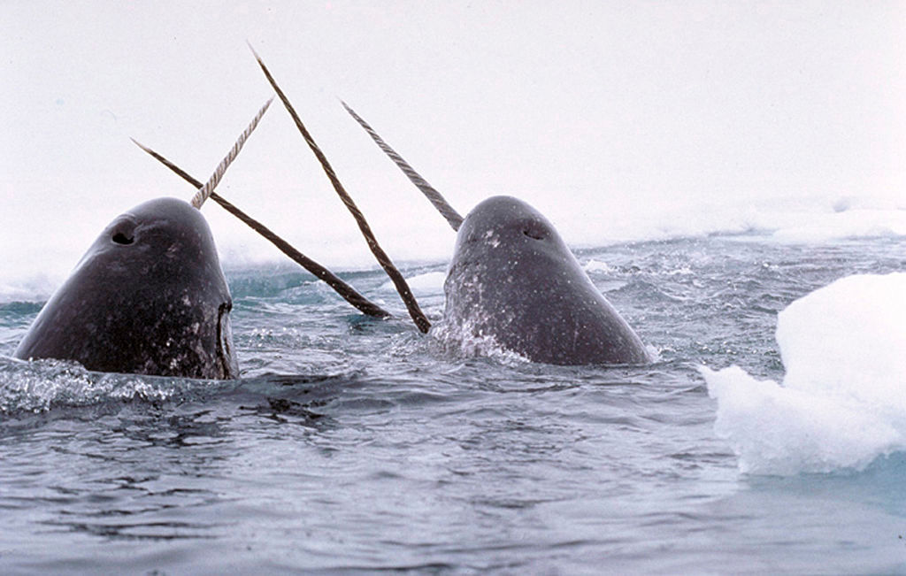 Narwhals Breach in US © Glenn Williams / National Institute of Standards and Technology