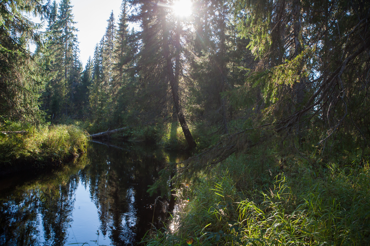 Beauty of Dvinsky Forest in Russia © Igor Podgorny / Greenpeace