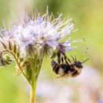Bumblebee on Phacelia Flowers in Germany © Axel Kirchhof / Greenpeace