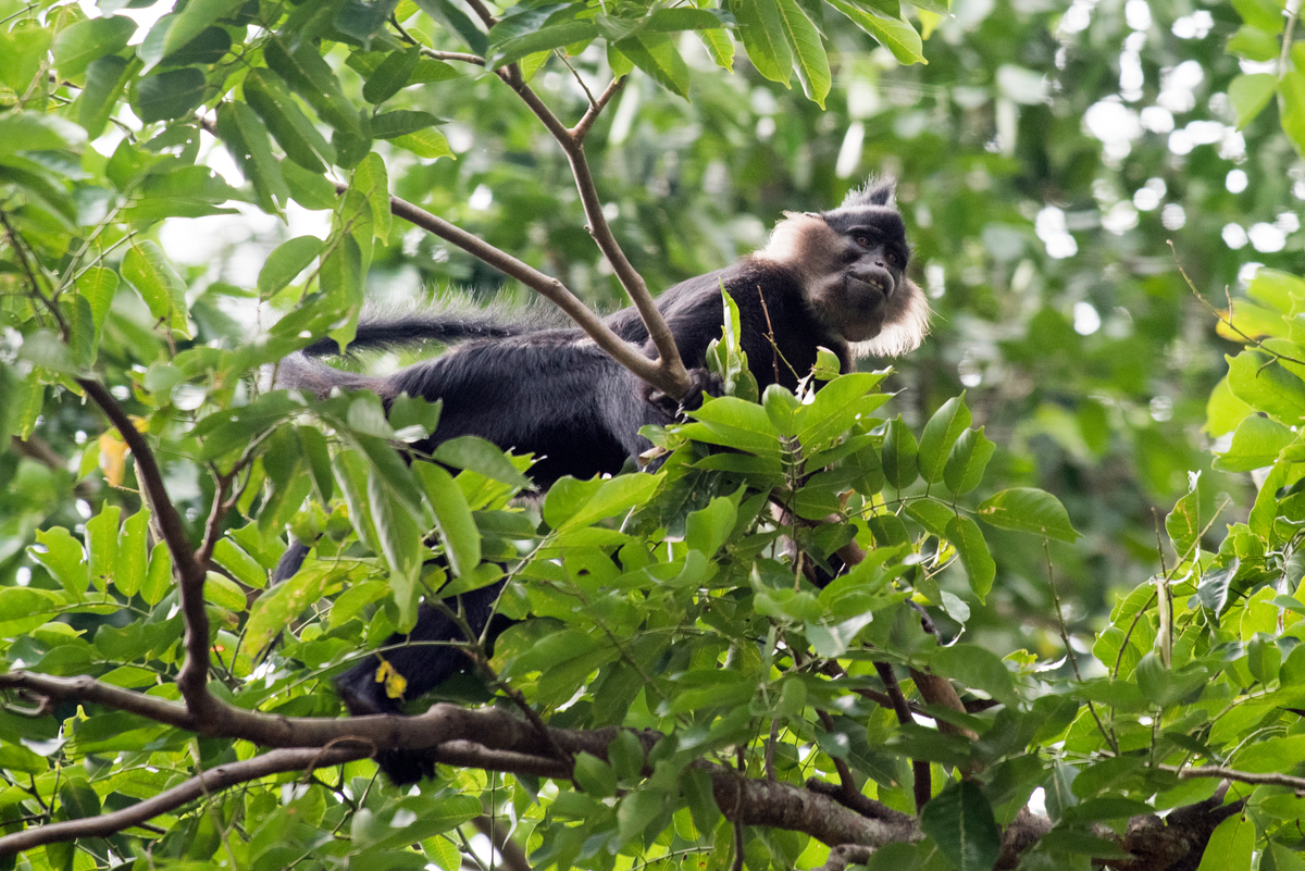 Black Crested Mangabey in DRC © Daniel Beltrá / Greenpeace