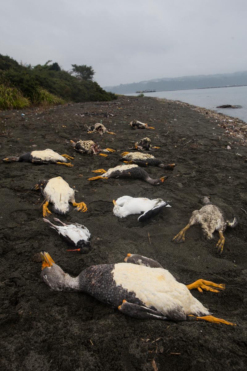Environmental Crisis in Chiloé Island in Chile © Alejandro Olivares / Greenpeace