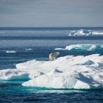 Polar Bear on Sea Ice in Baffin Bay © Greenpeace