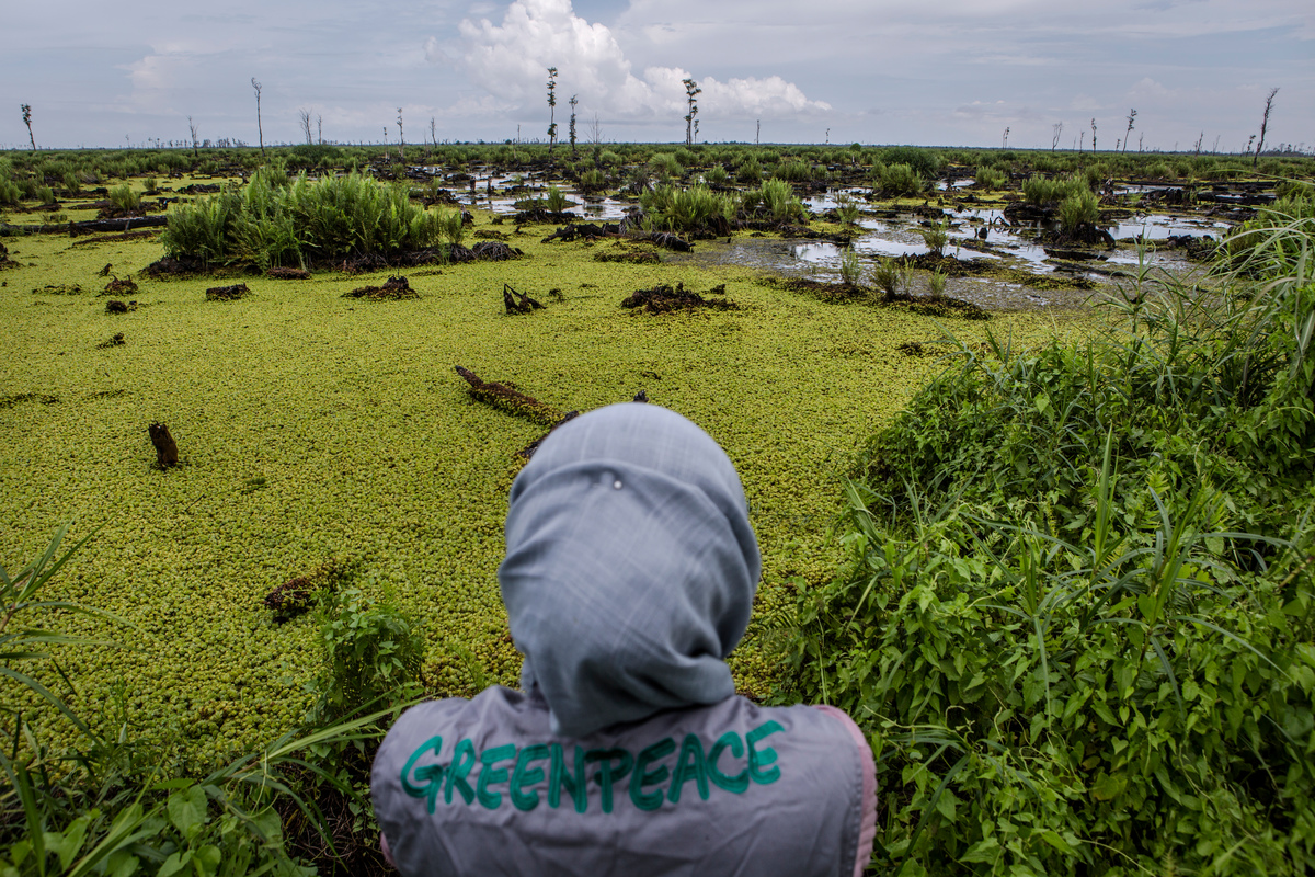 Bearing Witness in IOI Oil Palm Concession in West Kalimantan © Ulet Ifansasti / Greenpeace