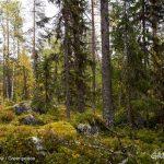 Forest near Lake Blecktjärnen in Sweden © Edward Beskow / Greenpeace