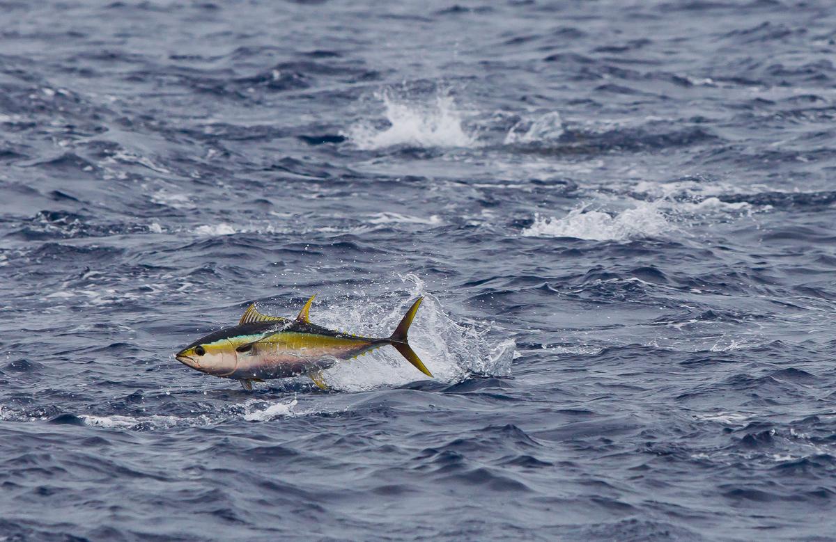 A yellowfin tuna (Thunnus albacares) breaks the surface of the Pacific Ocean © Paul Hilton / Greenpeace