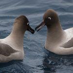 Albatross - Southern Ocean © Greenpeace / Kate Davison