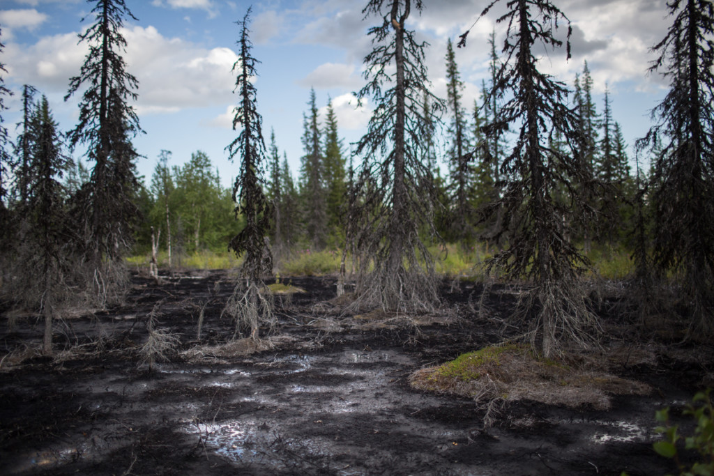Dead Forest in Komi Republic © Denis Sinyakov / Greenpeace