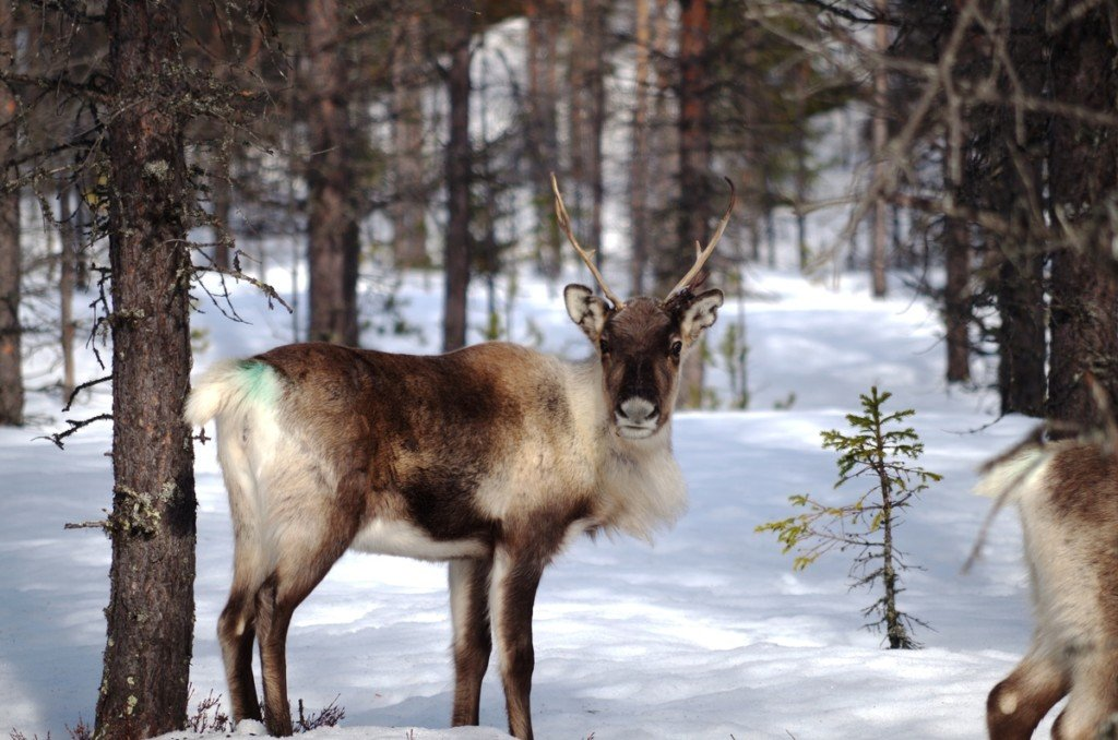 Reindeer in the Great Northern Forest © Maria Boström / SSR