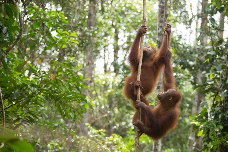Orangutans at BOS Nyaru Menteng Orangutan Rescue Center in Indonesia © Bjorn Vaugn / BOSF / Greenpeace
