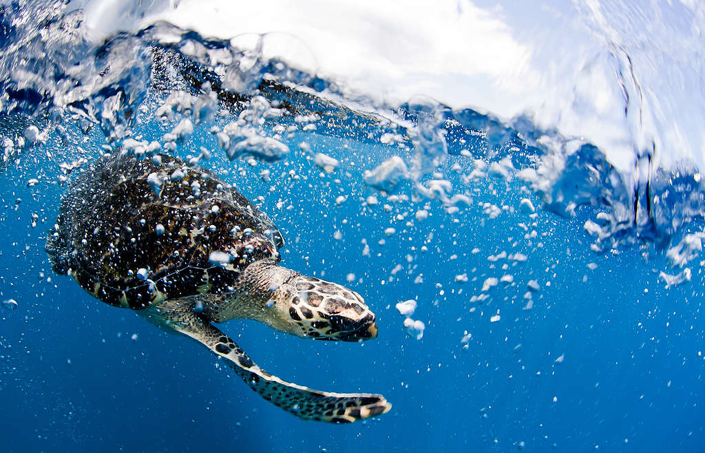 Hawksbill Turtle in Indonesia. © Paul Hilton