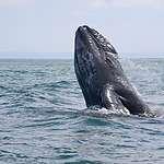 Gray Whale in Mexico © Monika Wieland Shields / Greenpeace