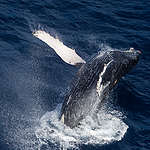 Humpback Whale in the Indian Ocean. © Paul Hilton
