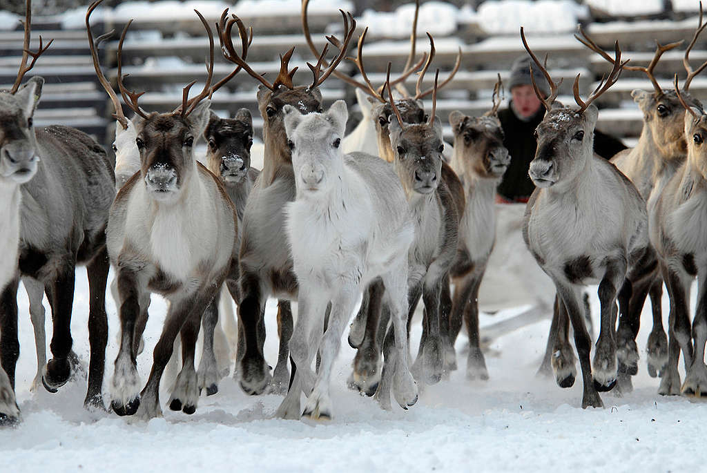 Reindeer herding in Finland © Markus Maulthe / Greenpeace