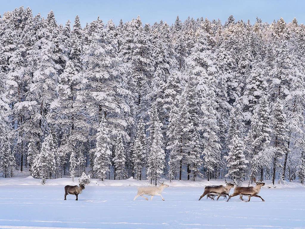 Reindeer in Finland © Jani Sipilä / Greenpeace