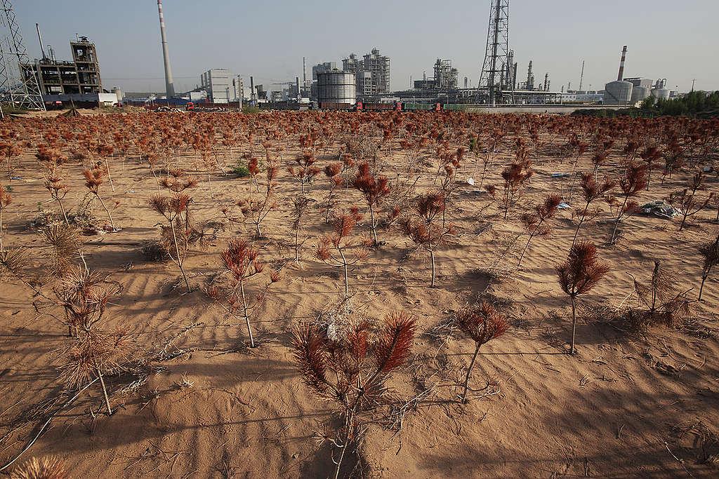 Dead Young Pine Trees in Inner Mongolia © Qiu Bo / Greenpeace