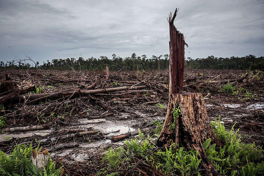 Deforestation for palm oil Indonesia © Ulet Ifansasti / Greenpeace