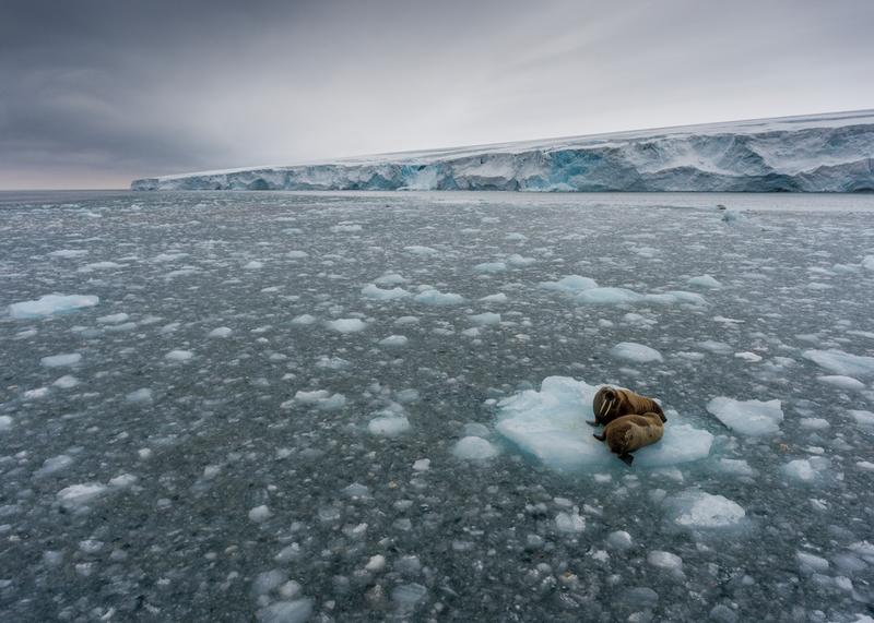 Walruses on ice floe at Kvitøya in Svalbard © Christian Åslund / Greenpeace
