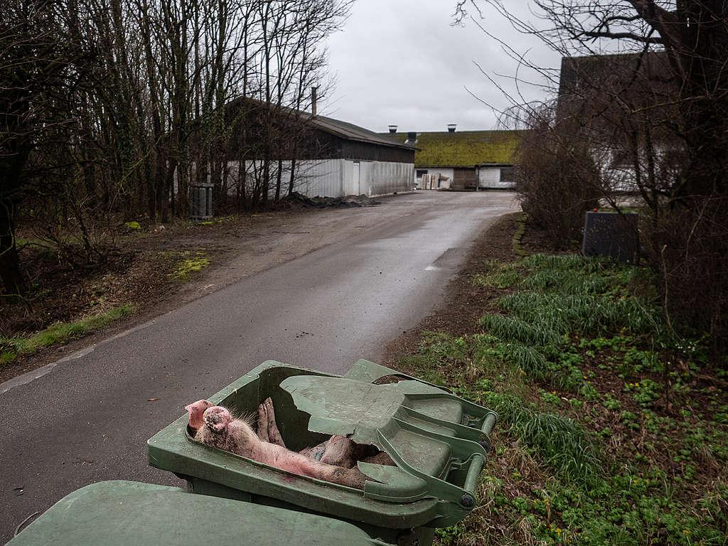 Dead pigs dumped outside a Danish factory farm © Greenpeace / Wildlight