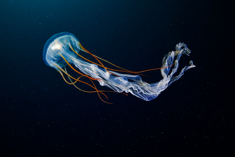 Scyphozoan Jellyfish