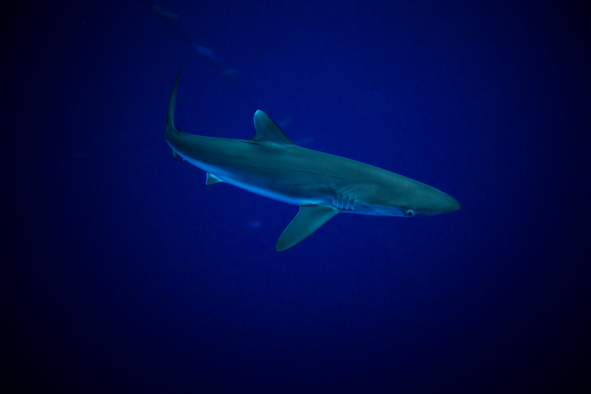 Shark in the Indian Oean. © Will Rose / Greenpeace