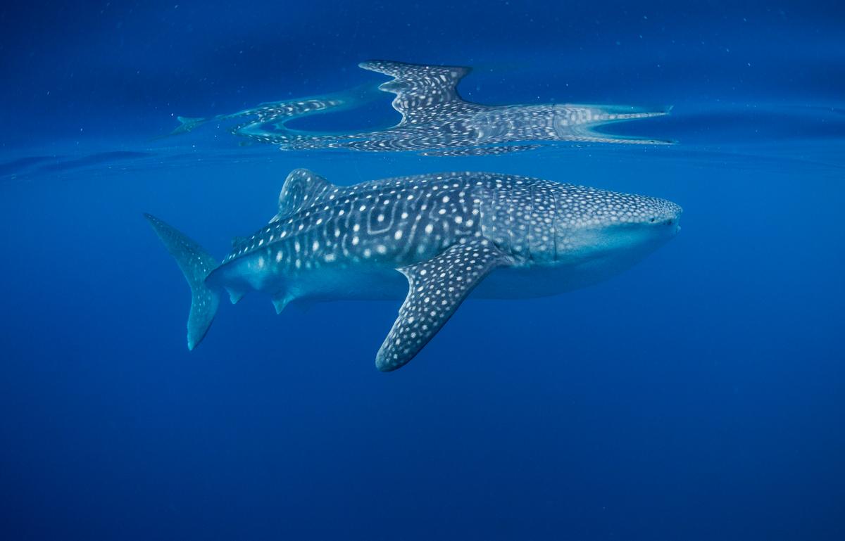 Whale Shark in Pacific Waters. © Paul Hilton / Greenpeace