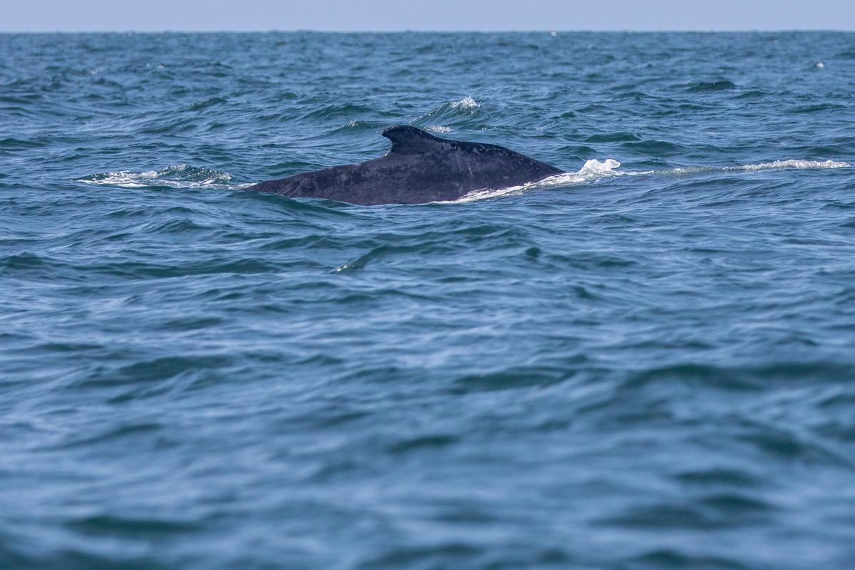 "Humpback whale swimming during Protect the Oceans ""Amazon Reef"" Leg - MY Esperanza. © Pierre Baelen / Greenpeace"
