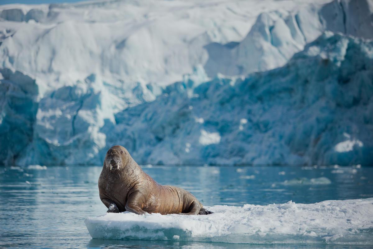 Walrus near Sjettebreen Glacier in Svalbard. © Denis Sinyakov / Greenpeace