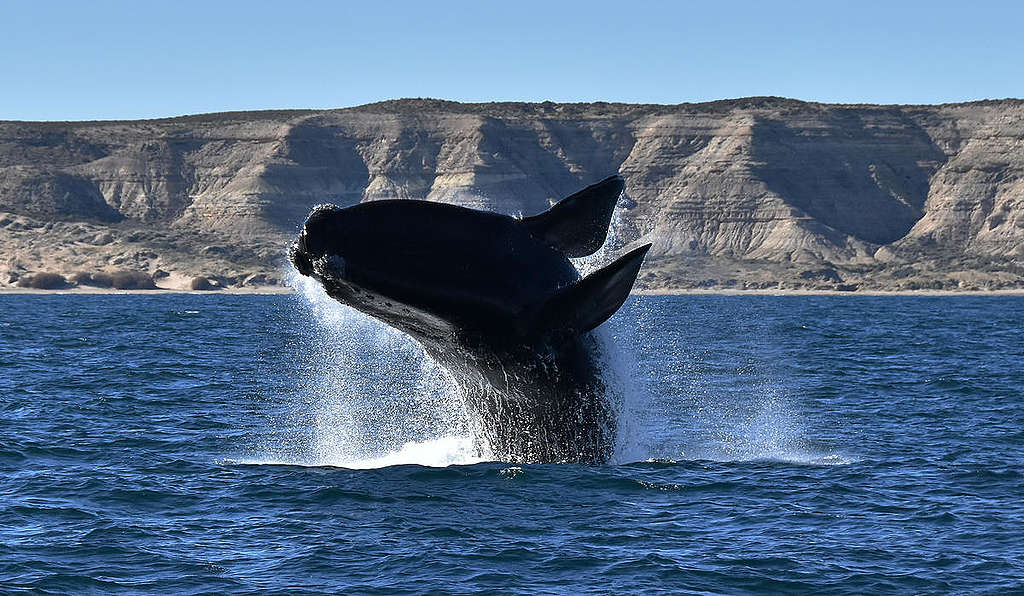 Southern Right Whale in Argentina. © Santiago Salimbeni / Greenpeace