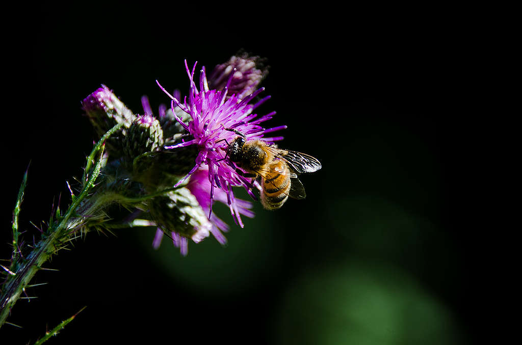 Honey bee © Charlie Burrell