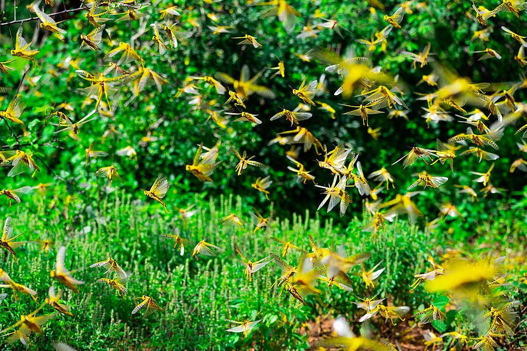 Locust Invasion in Mwingi, Kitui County in Kenya.