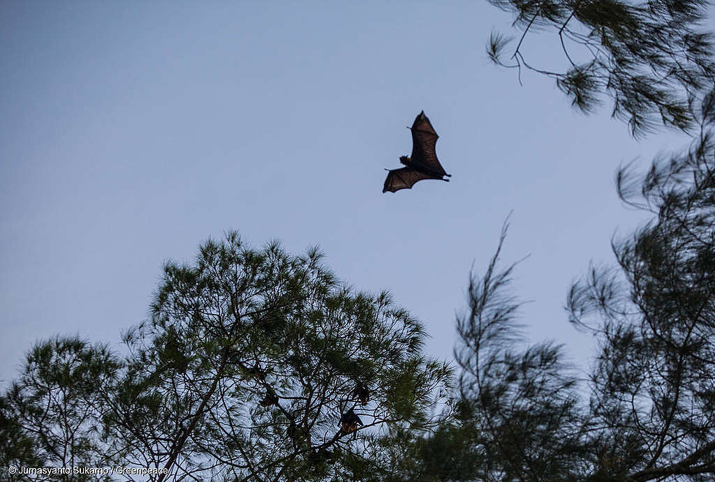 A bat flies over Um island, famous as Bats Island in Sorong, West Papua.