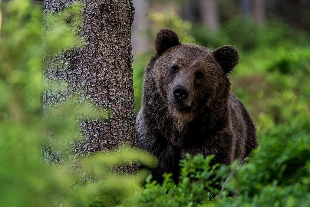 Eurasian Brown Bear in the Carpathians. © Tomáš Hulík / Greenpeace